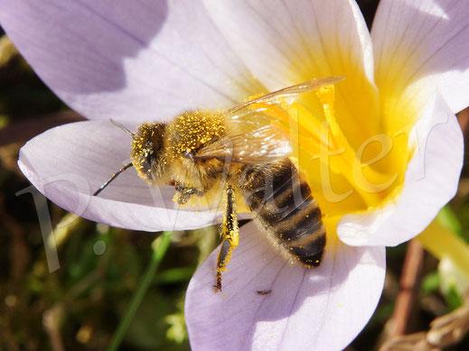 Bild: eine der ersten Honigbienen am Krokus