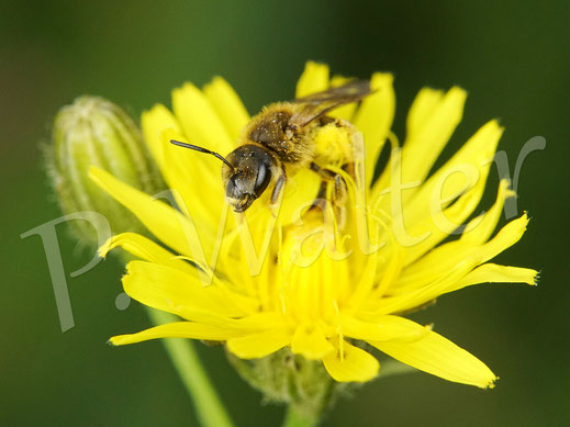 Bild: Gelbbindige Furchenbiene, Halictus scabiosae, am Wiesen-Pippau