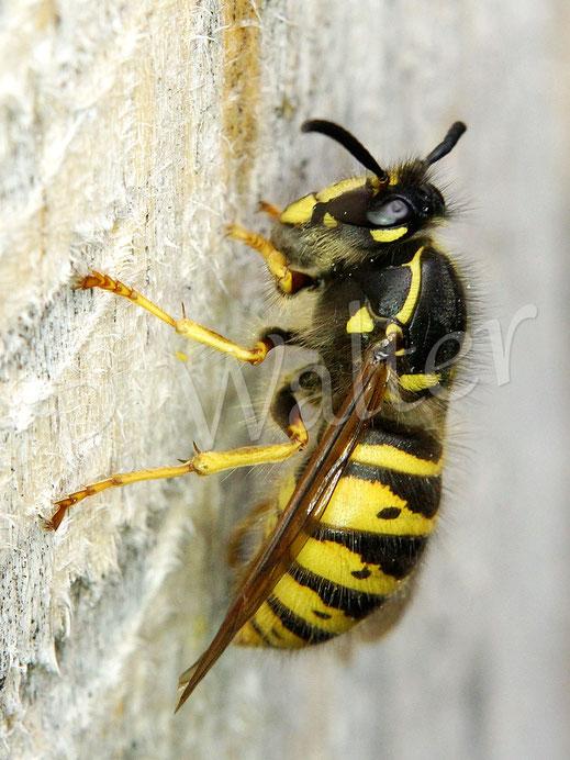 Bild: eine Wespe bedient sich am Holz und schabt Fasern ab