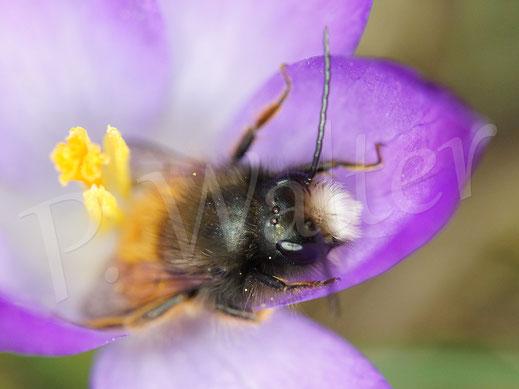 Bild: Männchen der Gehörnten Mauerbiene, Osmia cornuta, an einem Krokus