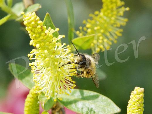 Bild: Rostote Mauerbiene, Osmia bicornis, Männchen, trinkt Nektar an der Immerblühenden Mandelweide