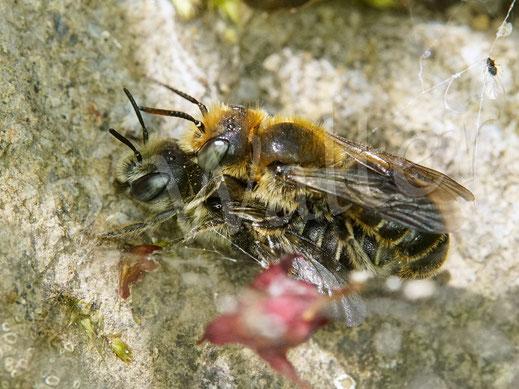 Bild: Natternkopf-Mauerbienen, Osmia adunca, Paarung