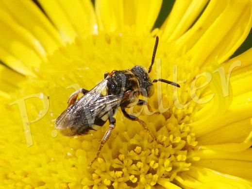 09.06.2020 : eine kleine Filzbiene, Epeolus spec., am Ochsenauge, eine Kuckuckbiene bei Seidenbienen