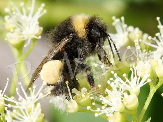 07.06.2019 : Erdhummel, Bombus terrestris, an den Blüten der Kletterhortensie