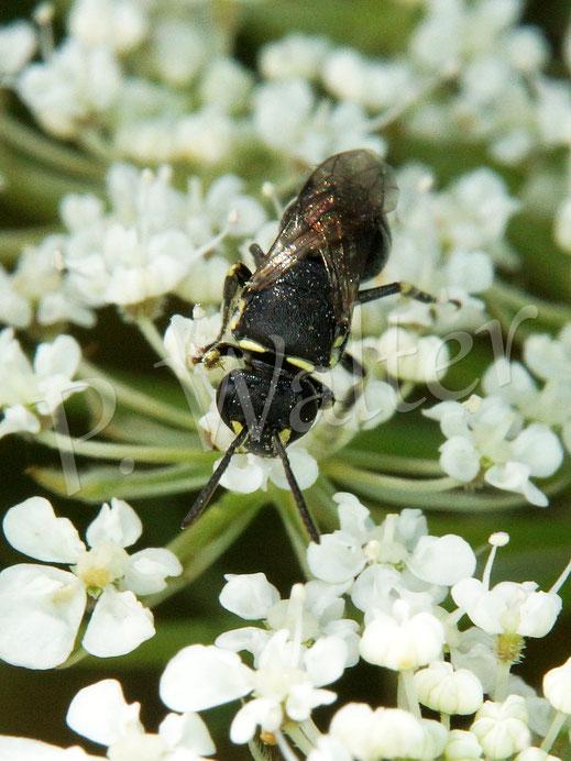 Bild: Maskenbiene, Hylaeus spec., an der Wilden Möhre