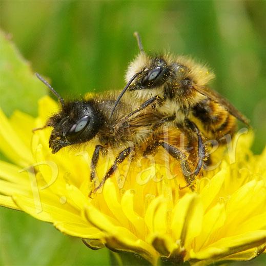 Bild: Pärchen der Rostroten Mauerbiene, Osmia bicornis, am Löwenzahn
