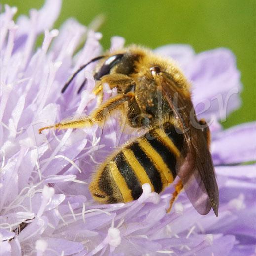 Bild: Gelbbindige Furchenbiene, Halictus scabiosae, Weibchen, Acker-Witwenblume