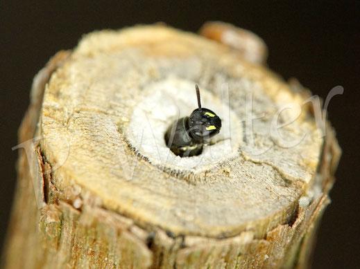 Bild: eine kleine Maskenbiene hat einen markhaltigen Stängel als Nistplatz angenommen