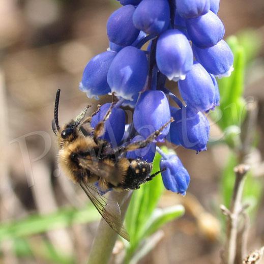20.04.2013 : Frühlings-Trauerbiene, Melecta albifrons, an einer Traubenhyazinthe
