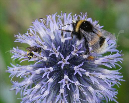 Bild: Bienenjagende Knotenwespe, Cerceris rybyensis, und eine Erdhummel, Bombus terrestris, an der Blauen Kugeldistel, Echinops spec.