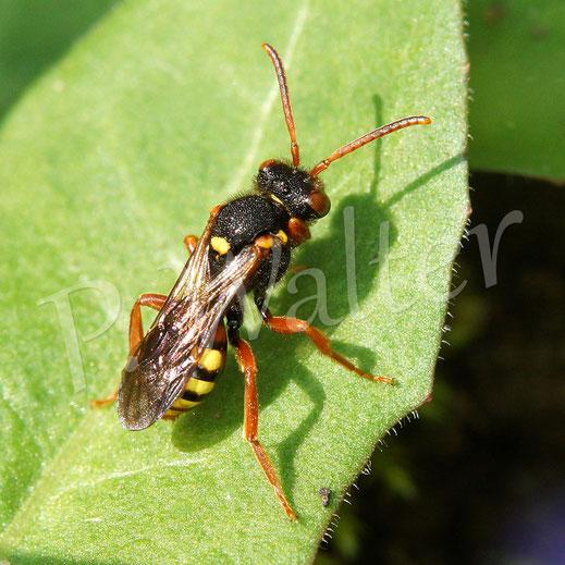 Bild: Wespenbiene, Nomada spec.
