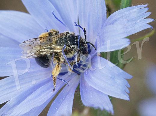 Bild: eine Sandbiene, Andrena spec., tankt Nektar einer Wegwarte
