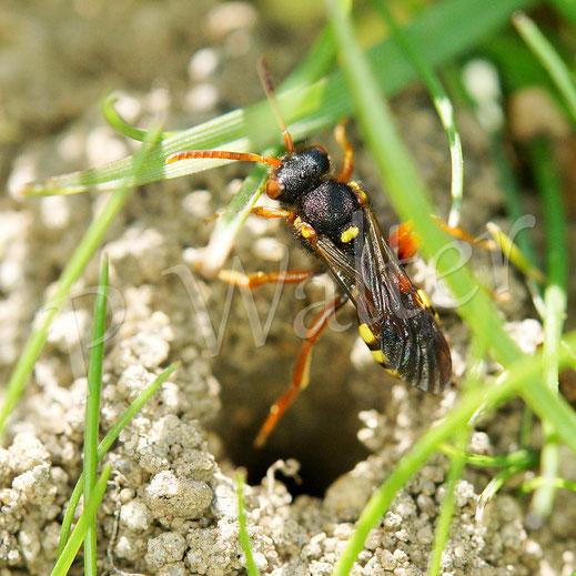 Bild : Wespenbiene, Nomada spec., am Nisthügel der Grauen Sandbiene