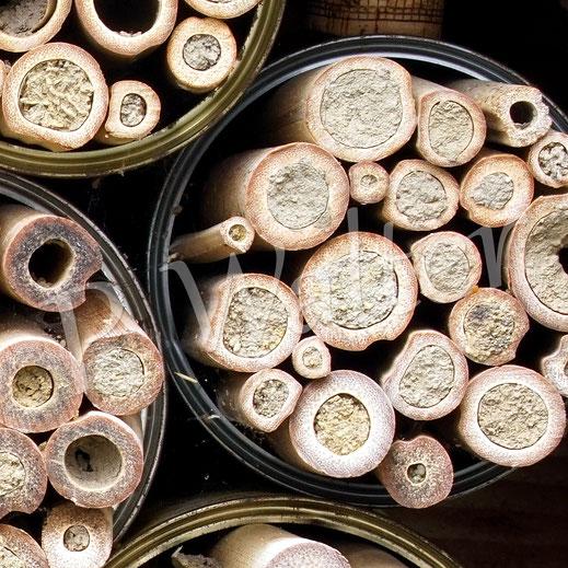 die ganzen glatten Lehmverschlüsse kommen von der Gehörnten Mauerbiene; gut ist aber auch zu erkennen, dass auch alle kleinen Lochdurchmesser belegt wurden ...