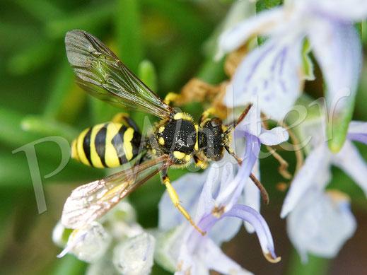 18.05.2019 : eine Wespenbiene, Nomada spec., am Rosmarin