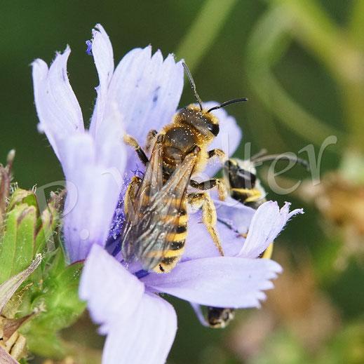 Bild: auf der Wegwarte hat das Weibchen der Gelbbindigen Furchenbiene, Halictus scabiosae, auch keine Ruhe vor dem aufdringlichen Verehrer !