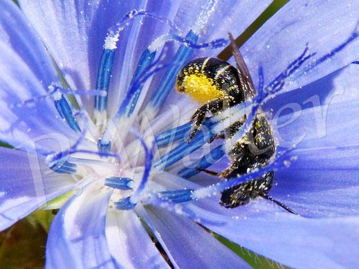 Bild: Löcherbiene, Osmia truncorum, an der Wegwarte