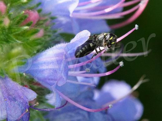 Bild: kleines Maskenbienen-Weibchen, Hyleaus spec., an den Staubgefäßes des Natternkopf