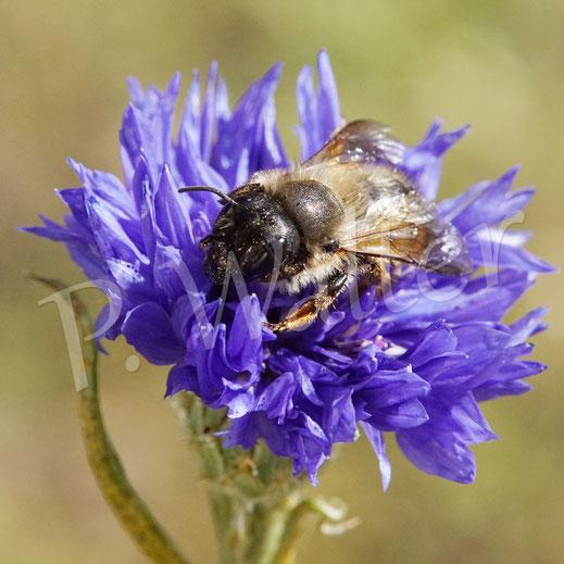 Bild: Weibchen der Rostroten Mauerbiene, Osmia bicornis, an einer Kornblume