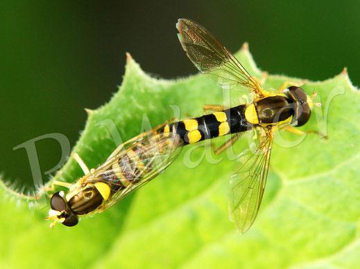 Bild: Paarung bei den Schwebfliegen