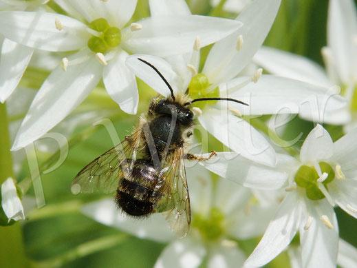 Bild: Rostrote Mauerbiene, Osmia bicornis, am Bärlauch