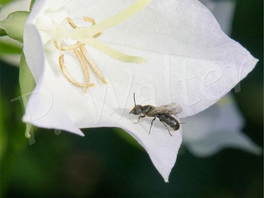 Bild: eine der beiden Kleinen Glockenblumen-Scherenbienen-Arten, Blüte der Pfirsichblättrigen Glockenblume