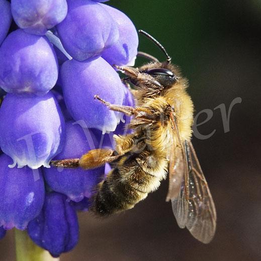 Bild: eine Sandbiene (?) an der Traubenhyazinthe