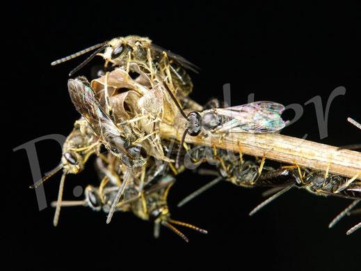 05.08.2020 : wahrscheinlich Schmalbienen, die sich hier am Schlafplatz versammeln