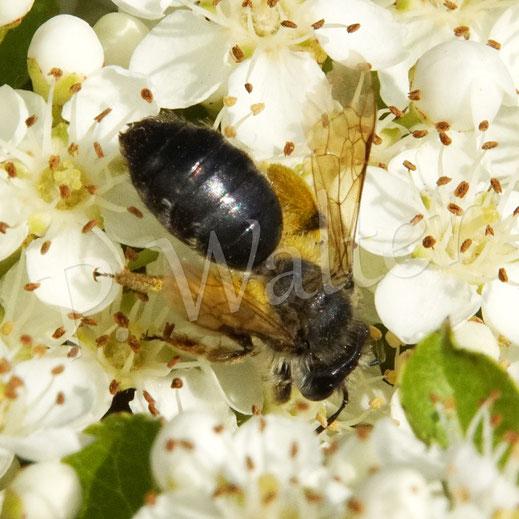 Bild: eine weibliche Sandbiene, Andrena spec., am Feuerdorn