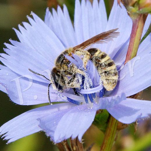 Bild: verblichenes Weibchen der Gelbbindigen oder eine Sechsbindige Furchenbiene an der Wegwartenblüte