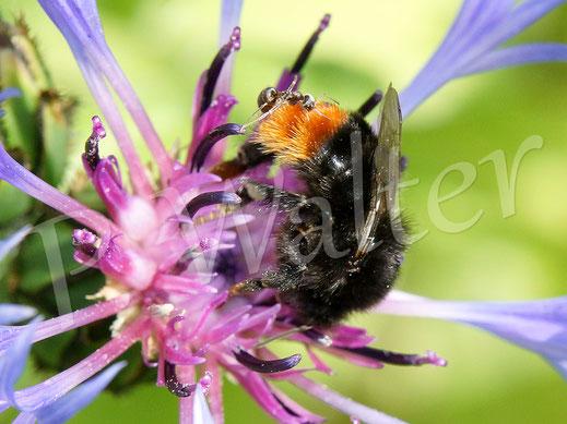 02.06.2019 : Steinhummel, Bombus lapidarius, an der Flockenblume
