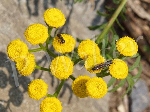 Bild: hinten die Löcherbiene, Osmia truncorum, und vorne ihr Prasit, eine Keulhornwespe, am Rainfarn