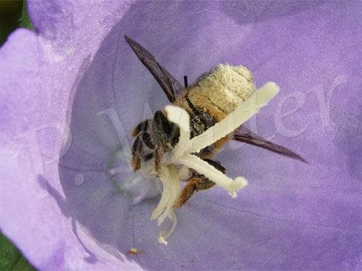 Bild: Weibchen der Garten-Blattschneiderbiene, Megachile willughbiella, Pfirsichblättrige Glockenblume