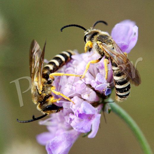 24.08.2018 : zwei Männchen der Gelbbindigen Furchenbiene an einer Blüte der Tauben-Skabiose