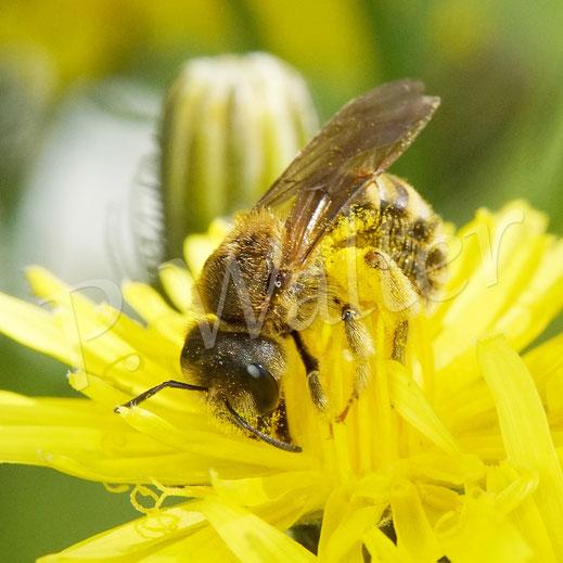 28.05.2020 : Gelbbindige Furchenbiene, Halictus scabiosae, am Wiesen-Pippau