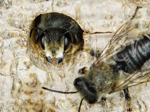 05.07.2020 : zwei Männchen der Blattschneiderbiene, Megachile willughbiella
