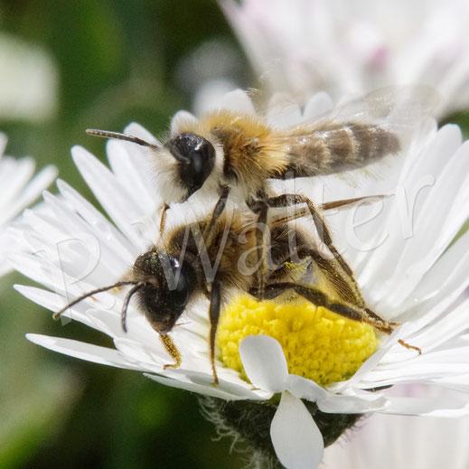 """Bild: Sandbienenweibchen, Andrena spec., """"attakiert"""" von einem Männchen, Gänseblümchen"""