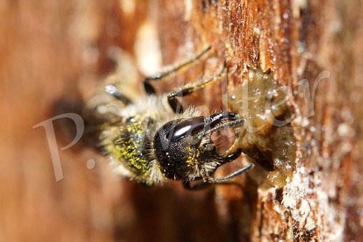 Hahnenfuß-Scherenbiene, Osmia florisomne / Chelostoma florisomne