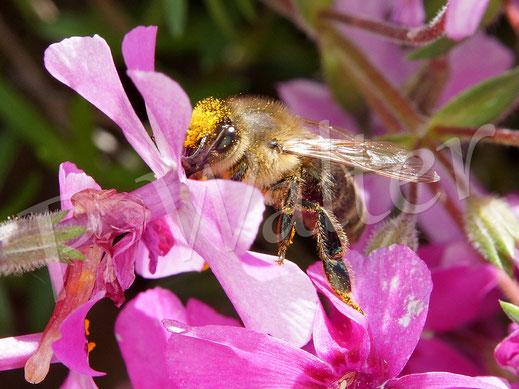 """Bild: Honigbiene an den Blüten einer """"Steingarten-Polsterpflanze"""""""