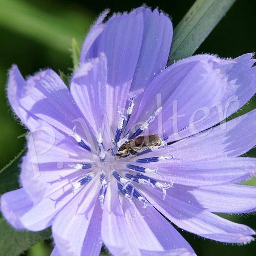 """Bild: eine """"etwas"""" kleinere Furchenbienenart an der Wegwarte"""