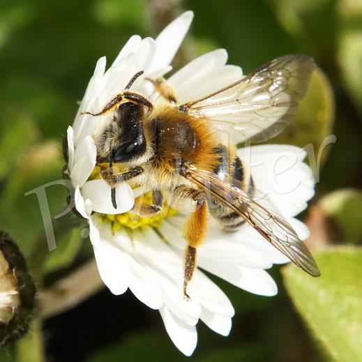 Bild: eine Bindensandbiene am Gänseblümchen, hier putzt sie gerade ihre Fühler