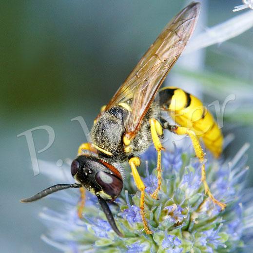 21.07.2019 : Bienenwolf, Philanthus triangulum, Weibchen, auf den Blüten der Kugeldistel