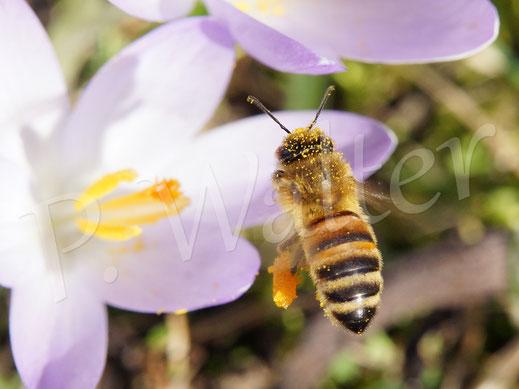 Bild: Honigbiene im Anflug zur Krokusblüte