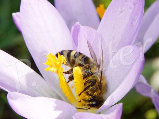 Bild: Honigbiene am Krokus