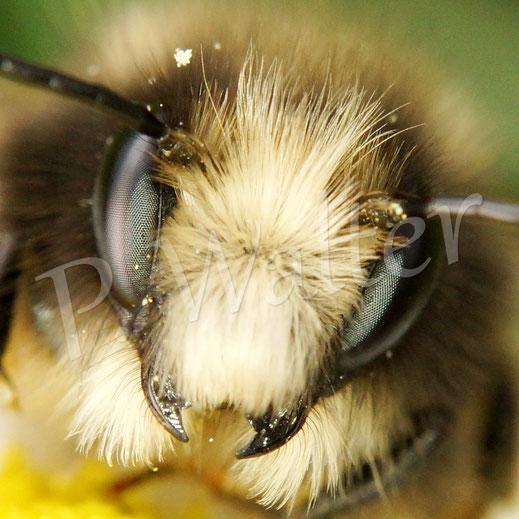 Bild: Männchen der Gehörnten Mauerbiene, Osmia cornuta, Portrait, Gesicht