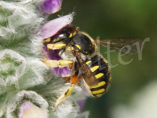 Bild: Garten-Wollbiene, Weibchen, Anthidium manicatum, trinkt Nektar an den Woll-Ziest-Blüten