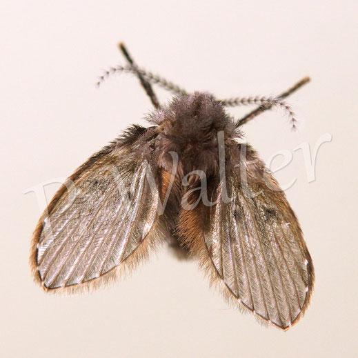 Bild: Hausbesucher, eine Schmetterlingsmücke Psychodidae spec.