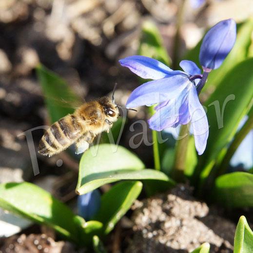 Bild: Honigbiene im Anflug zum Blausternchen, Scilla sibirica