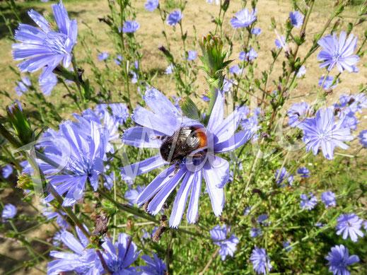 08.07.2018 : Erdhummel an der Wegwartenblüte, der Rasen drumrum knochentrocken (Sommer 2018 eben)