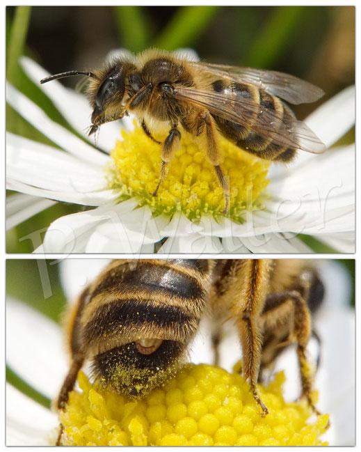 Bild: ein Fächerflügler, Stylops spec., zwischen den Tergiten einer Sandbiene, Andrena spec.